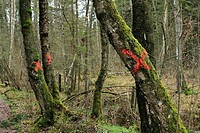 Old Birch trees Betula marked with red X crosses for felling in Bavarian forest, Chiemgau Upper, Bavaria, Germany, Europe
