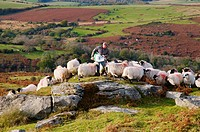 England, Devon, near Saddle Tor. A farmer feeding his sheep near Saddle Tor in Dartmoor National Park.