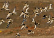 Flock of Golden plovers flying  Athens, Greece