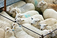 Wales, Gwynedd, Dolgellau. Sheep in pens at Dolgellau Livestock Auction