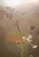 Silhouette of burdock plant and flowers  Location Oulu Finland Scandinavia Europe