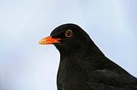 Blackbird, male, North Rhine_Westphalia, Germany / Turdus merula