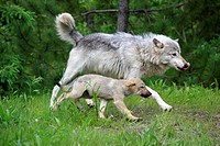 Wolf Canis lupus, mother and cub running side by side, Minnesota, USA, North America