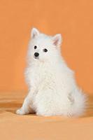 Spitz puppy, sitting