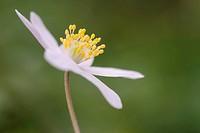 Wood anemone, Anemone nemorosa, Germany / Buschwindröschen, Anemone nemorosa, Deutschland