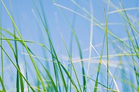Sea Grass, Cape Cod, Massachusetts, USA