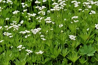Sweet Woodruff or Wild Baby's Breath (Galium odoratium)