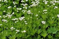 Sweet Woodruff or Wild Baby's Breath (Galium odoratium)