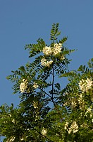 Black Locust, blooming, North Rhine_Westphalia, Germany / Robinia pseudoacacia / False Acacia