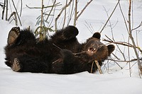 Two_year_old Eurasian brown bear Ursus arctos arctos cub playing with branch in the snow in spring, Bavarian Forest National Park, Germany