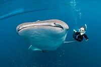 Whale Shark, Whale Sharks, Whaleshark, Whalesharks, Filter feeding, Filter Feeder, Plankton, pelagic, nektronic, phytoplankton, Orectolobiformes, Gale...