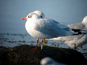 mediterranean gull and common gull