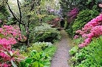 AZALEAS GROW ALONG A PATH IN THE WOODLAND GARDEN AT GREENCOMBE