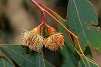Eucalyptus Red ironbark, Eucalyptus sideroxylon, Mugga, Naries, Namaqualand, South Africa