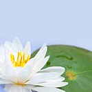 Close_up of water lily, studio shot