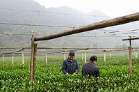 Female workers picking tea leaves at the West Lake Xi Hu plantation in Hangzhou China