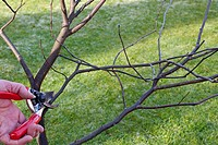 PRUNING CONGESTED STEMS ON A YOUNG TREE SERIES 2 CUTTING THE FIRST CROSSING STEM.