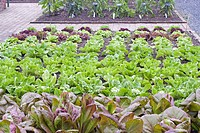 LETTUCE IN BEDS AT ROSEMOOR