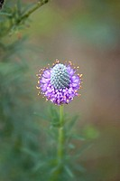 A purple Prairie Clover in full bloom with effects