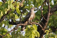 Oriental Honey_buzzard Pernis ptilorhynchus immature, perched on branch, Kanha N P , Madhya Pradesh, India