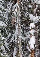 Great Grey Owl Strix nebulosa adult, perched in tree on snow covered coniferous forest edge, Finland, march