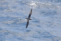 Cooks Petrel Pterodroma cookii adult, in flight over sea, New Zealand, november