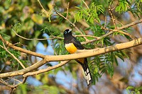 Black_headed Trogon Trogon melanocephalus adult male, perched on branch in tree, Costa Rica, february