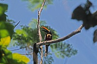 Fiery_billed Aracari Pteroglossus frantzii adult, calling, perched on branch in treetop, Costa Rica, february