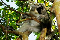 Zanzibar Red Colobus Procolobus kirkii adult, close_up of foot, sitting on branch in tree, Jozani Forest, Zanzibar, Tanzania