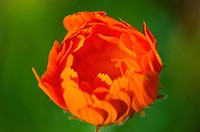 Calendula Flower Opening, Petaluma California United States Of America