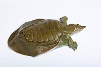 Chinese Soft_shelled Turtle Pelodiscus sinensis adult
