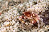 Harlequin Crab Lissocarcinus orbicularis adult female, releasing eggs near Anemone Heteractis malu, Lembata Island, Solor Archipelago, Lesser Sunda Is...