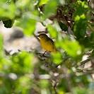 yellow warbler dendroica petechia, galapagos, equador