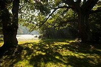 Common Oak Quercus robur habit, backlit ancient trees, with ponies grazing on lawn in woodland habitat, Busketts Lawn, New Forest, Hampshire, England,...