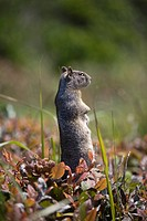 ground squirrel standing in a field, otter rock oregon united states of america