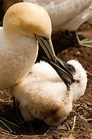 northern gannet morus bassanus feeding a chick, perce quebec canada