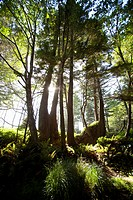 old growth trees backlit by the sun along the path to florencia bay in pacific rim national park near tofino, british columbia canada