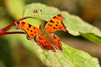 Gray Comma Butterfly _ Polygonia progne