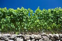 France, Ardeche, Vernon, vineyard