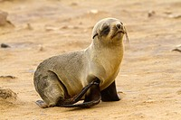 Namibia, Cape Cross national park, Cape fur seal Arctocephalus pusillus a young orphan