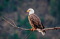 Coeur d´ Alene, Bald Eagle perched in a tree at Coeur d´ Alene Lake near the city of Coeur d´ Alene in northern Idaho
