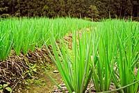 farm of spring onion