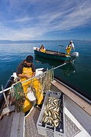 France, Haute Savoie, Le Chablais, Thonon les Bains, fisherman fishing perches and crawfishes on Lake Geneva