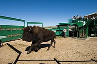 United States, South Dakota, Black Hills, Custer State Park, branding bisons at roundup