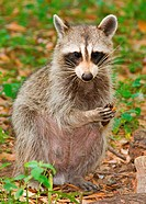 A raccoon Procyon lotor, also known as a masked bandit, holding food.