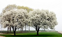 Cherry Blossoms trees and green grass in Lincoln Park on a foggy sping day with the lake behind