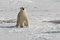 Polar bear on pack ice in Spitsbergen.