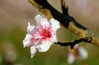 Almond blossom (Prunus dulcis)