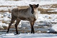 Woodland caribou, Rangifer tarandus caribou, Yukon Wildlife Preserve, Canada.