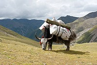 Loaded Yak Bos mutus grazing on the grassland in front of high mountains, near the Chitu_La Pass, Himalaya Range, Central Tibet, Ue_Tsang, Tibet Auton...